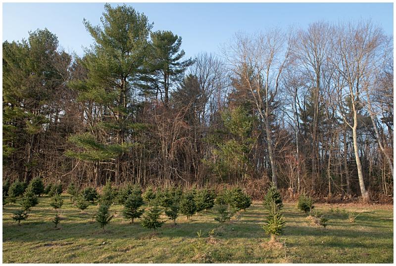 Christmas, Christmas tree farm, haverhill, massachusetts, photographer, new england, tree farm, holiday portraits, family holiday portraits, hansen